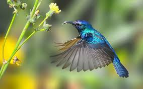 HummingbirdBlueFlitting